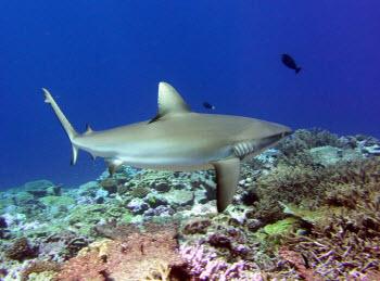 Gray reef shark at Kingman. Photograph by Jen Smith.