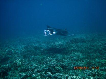 Manta Ray at Ukumehame, Maui,
