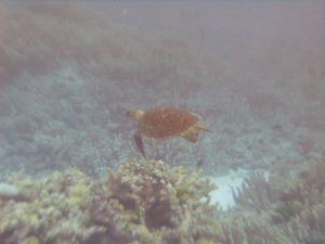 Green sea turtle swimming past a large thicket of Isopora coral.