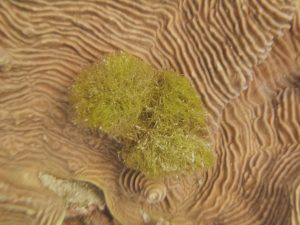 A damselfish's garden of green filamentous algae on top of a colony of Pachyseris spp.