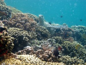 A patch reef in Kaneohe Bay with low coral diversity and its resident sea turtle.