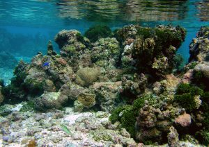 A coral outcropping on the back reef of the north shore in Moorea, French Polynesia.