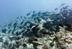 Large schools of herbivores, such as these surgeonfish, cruise the reef consuming turf algae.