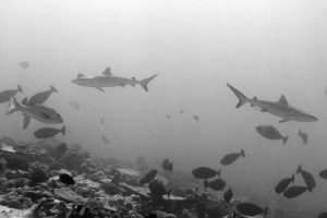 Grey reef sharks patrol the reef during a dusky dive.