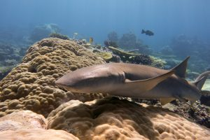 Tawny nurse sharks are extremely common in Chagos. They have small eyes and poor eyesight and will often come very close to divers to get a better look