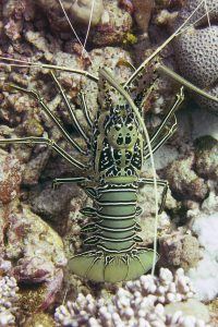 In a rare moment, an painted rock lobster (Panulirus versicolor) comes out of hiding.