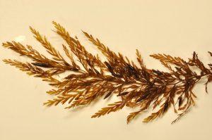 Sargassum horneri