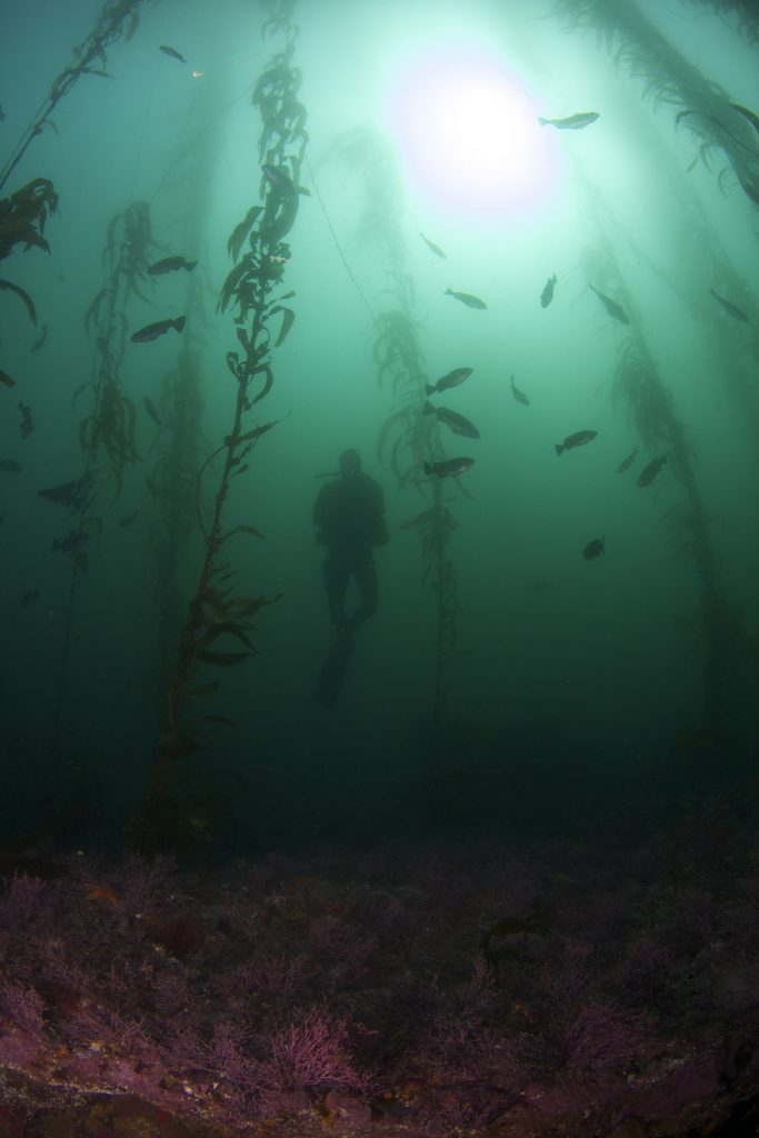 Giant kelp forms elaborate underwater forests that have a way of making divers feel quite small (Photo credit: Scott Gabara)